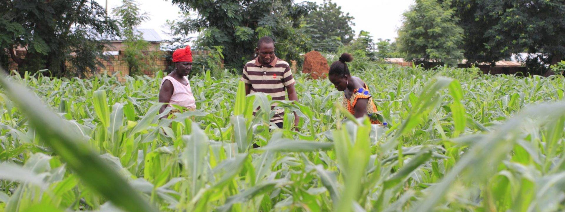 Injaro Strikes An Exit From Ghana's Maize Seed Producer M&B